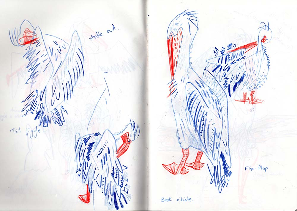 Pelican observational sketches