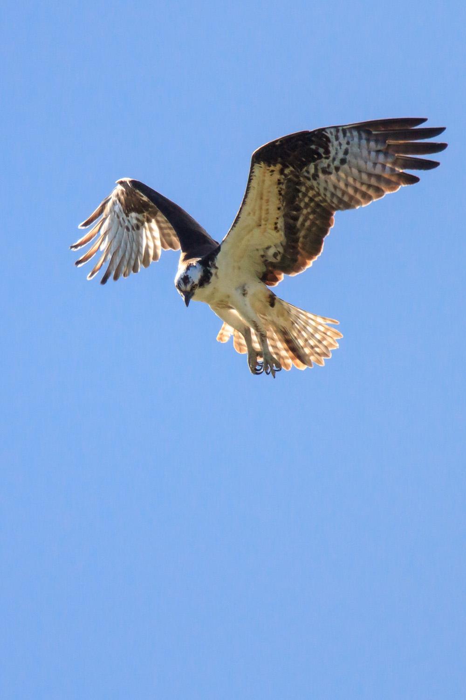 Osprey11.jpg