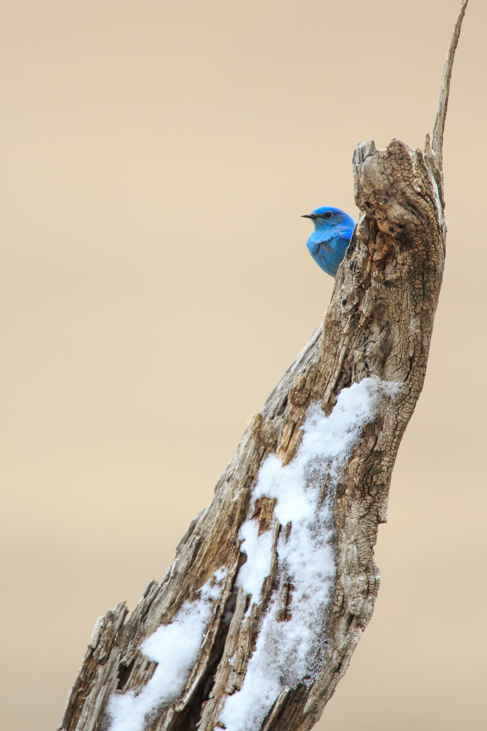 Bluebird playing peekaboo with the snow and wind.