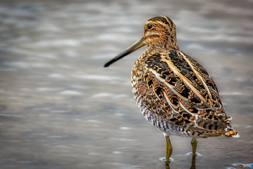 Snipe, Common or Wilson's?