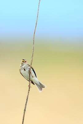 Savannah Sparrow-Cherry Creek, MT
