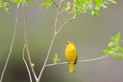 Yellow Warbler-Henry's Fork, ID