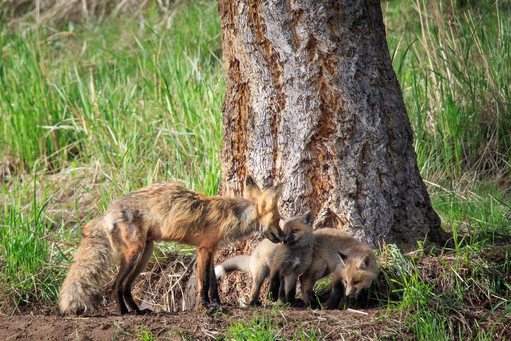 Red Fox and kits, YNP