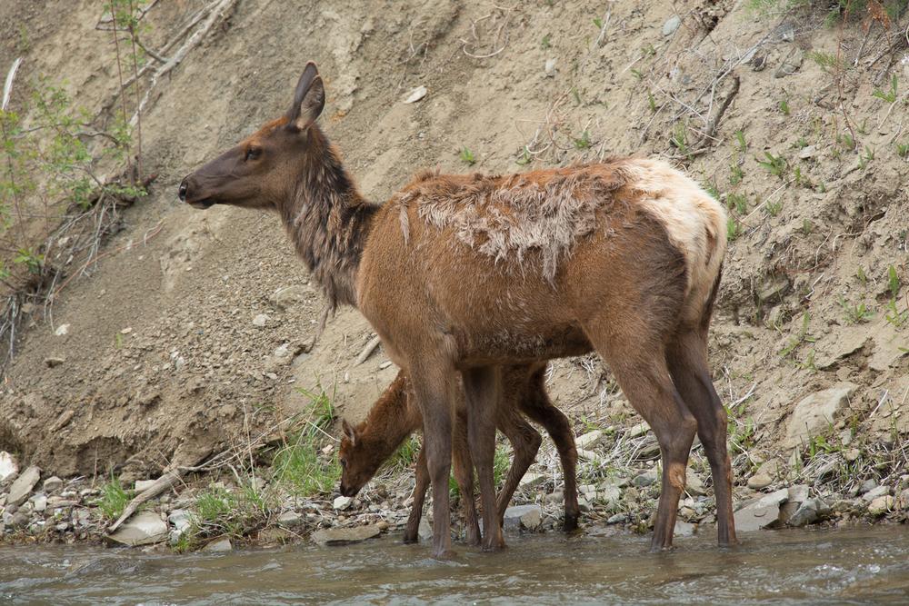 Elk, YNP-Gardiner River