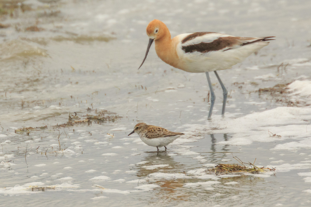 Semi-Palmated Sandpiper and Avocet