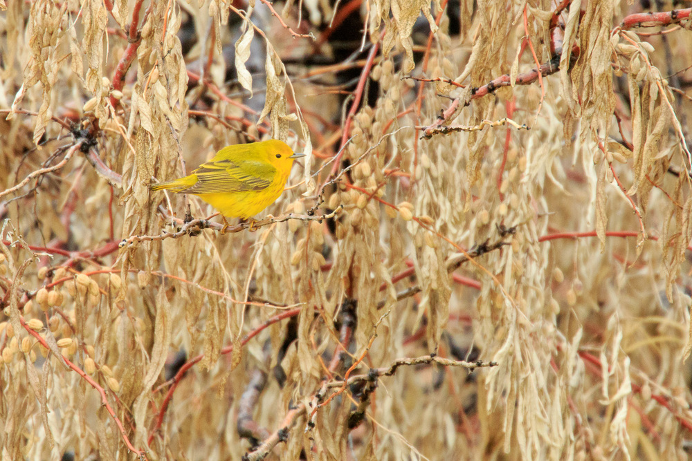 Yellow Warble