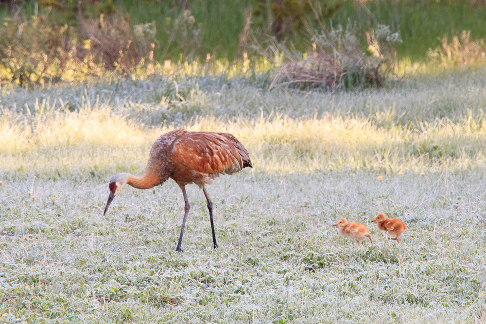 Sandhill Crane Adult with Chicks