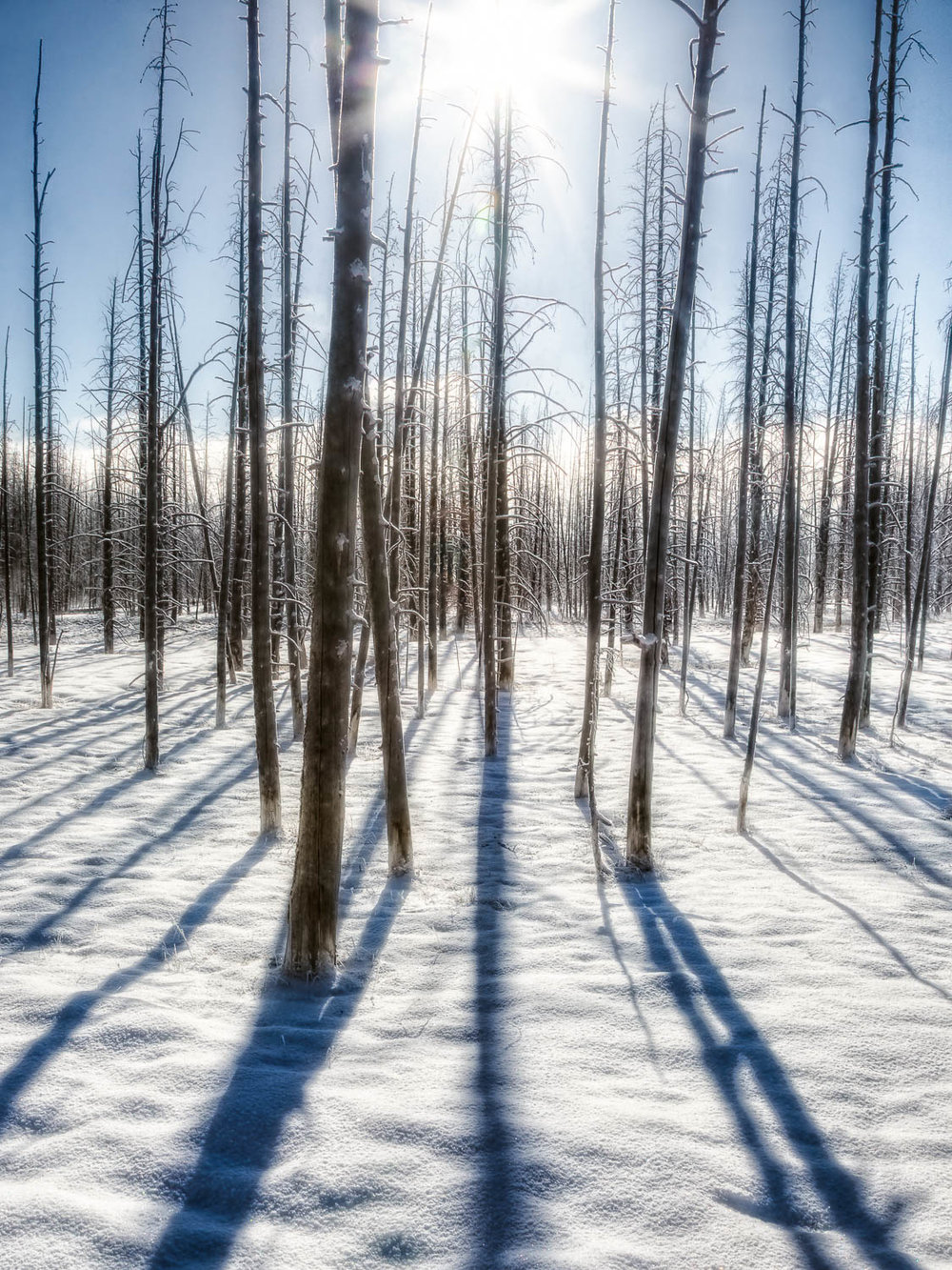 Tangle of Pines in Yellowstone National Park Winter