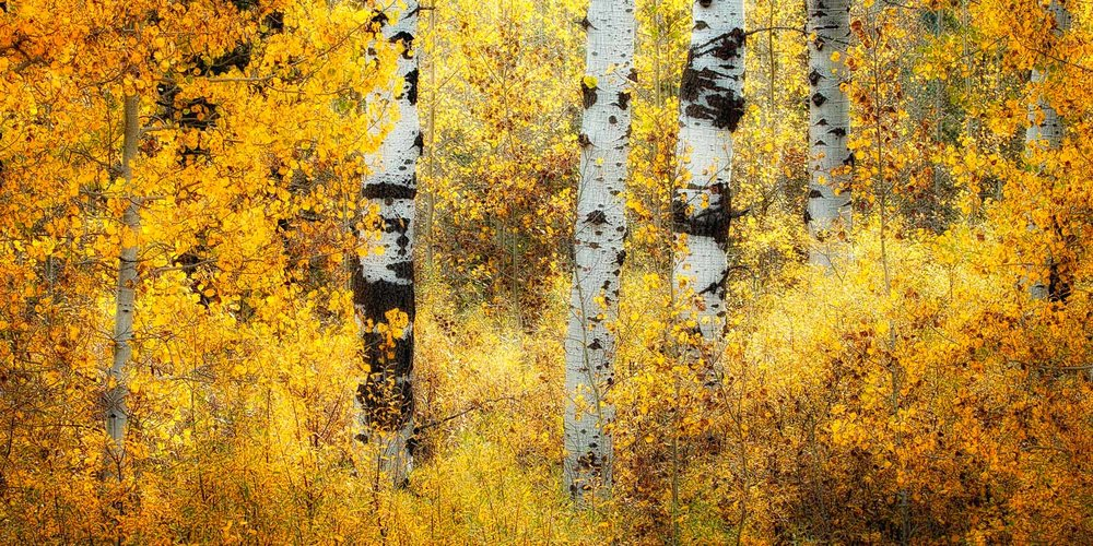 Golden Aspens of Mesa Falls, Idaho