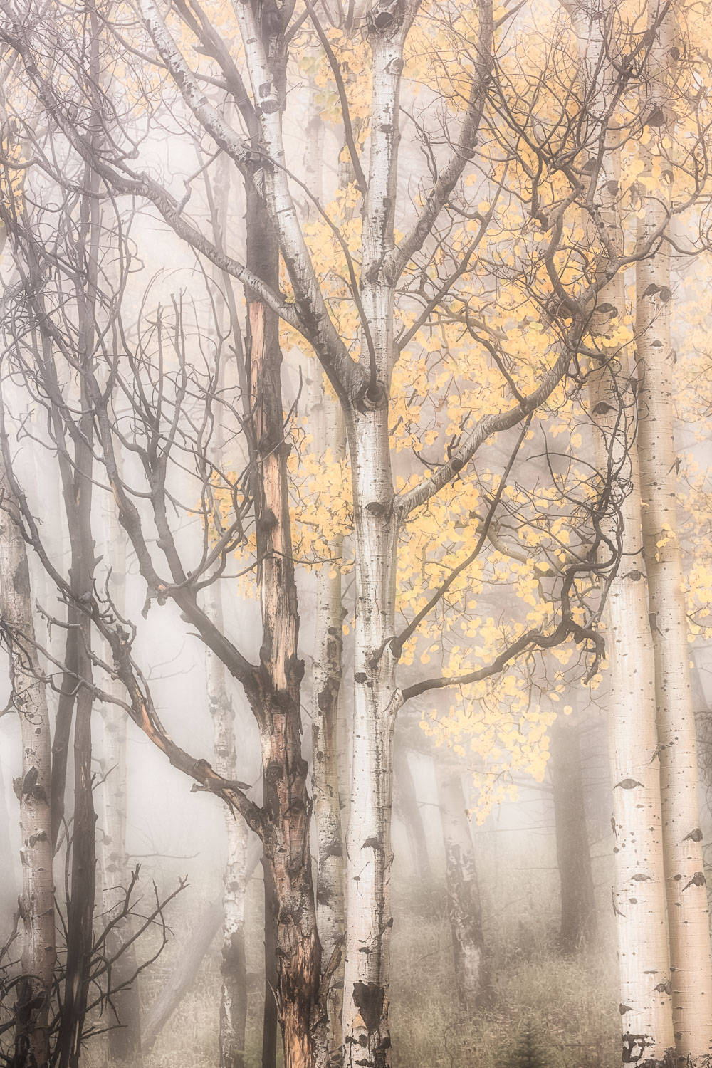 Misty Trees of Mammoth, Yellowstone National Park, Wyoming