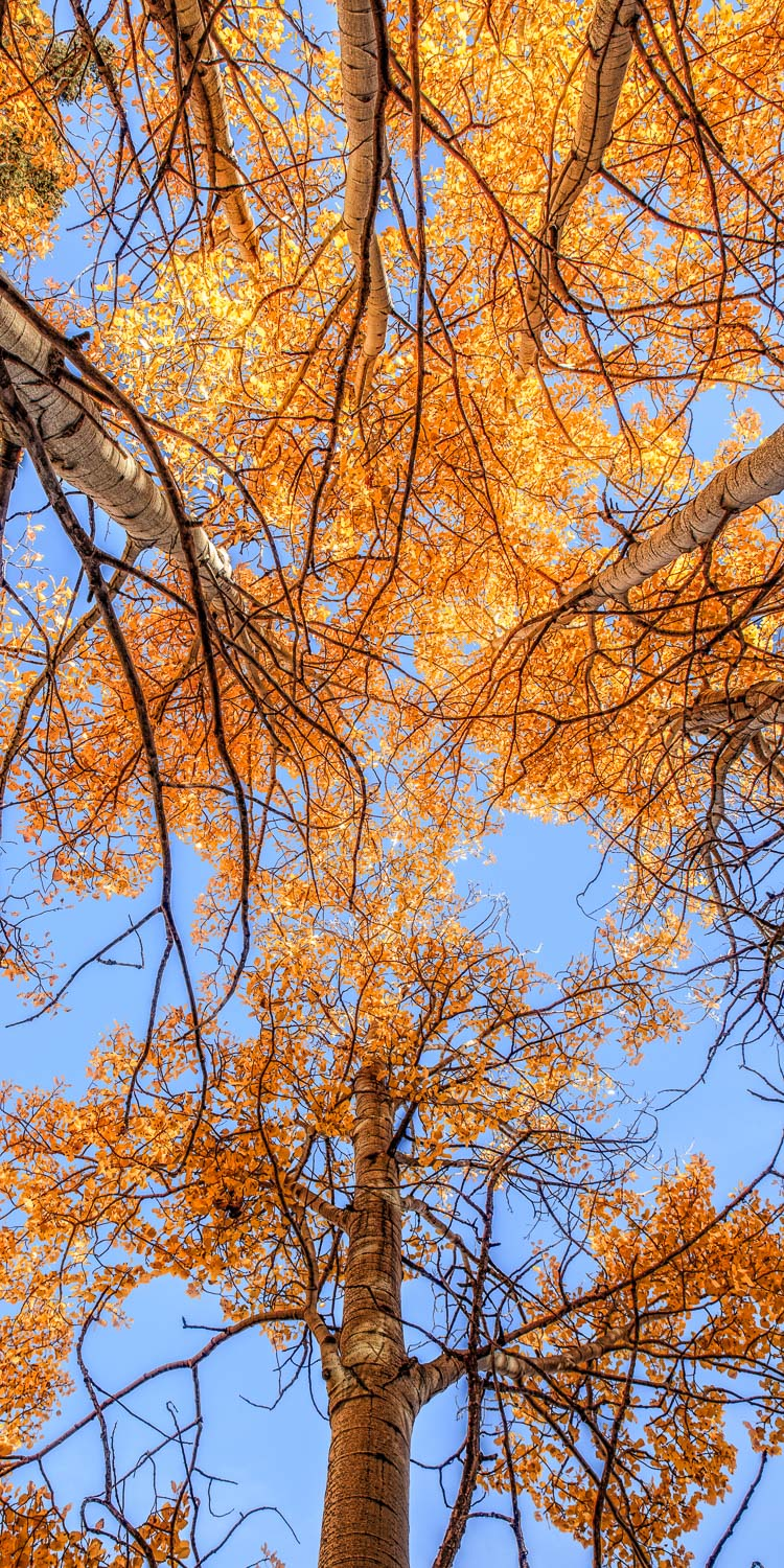 aspens trees fall color blue sky orange yellow