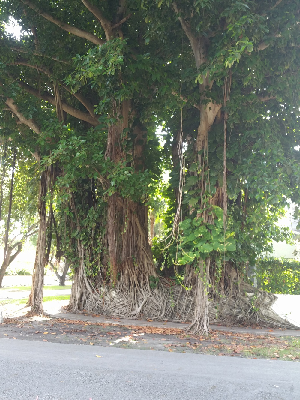 These amazing trees in Miami blow my mind more every time I see them.