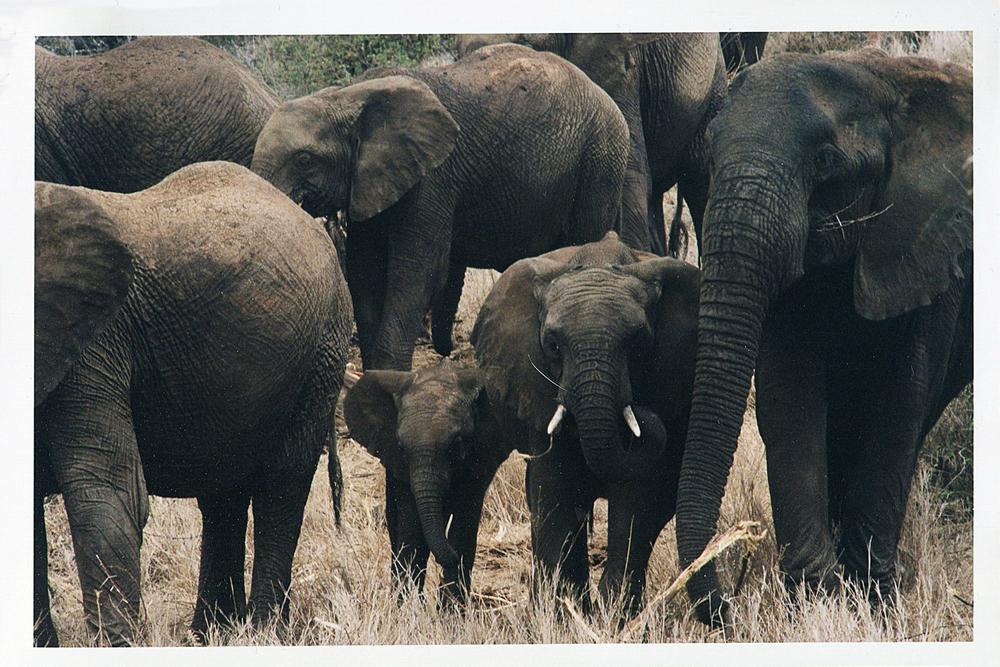 Africa elephants Kenya144.jpg