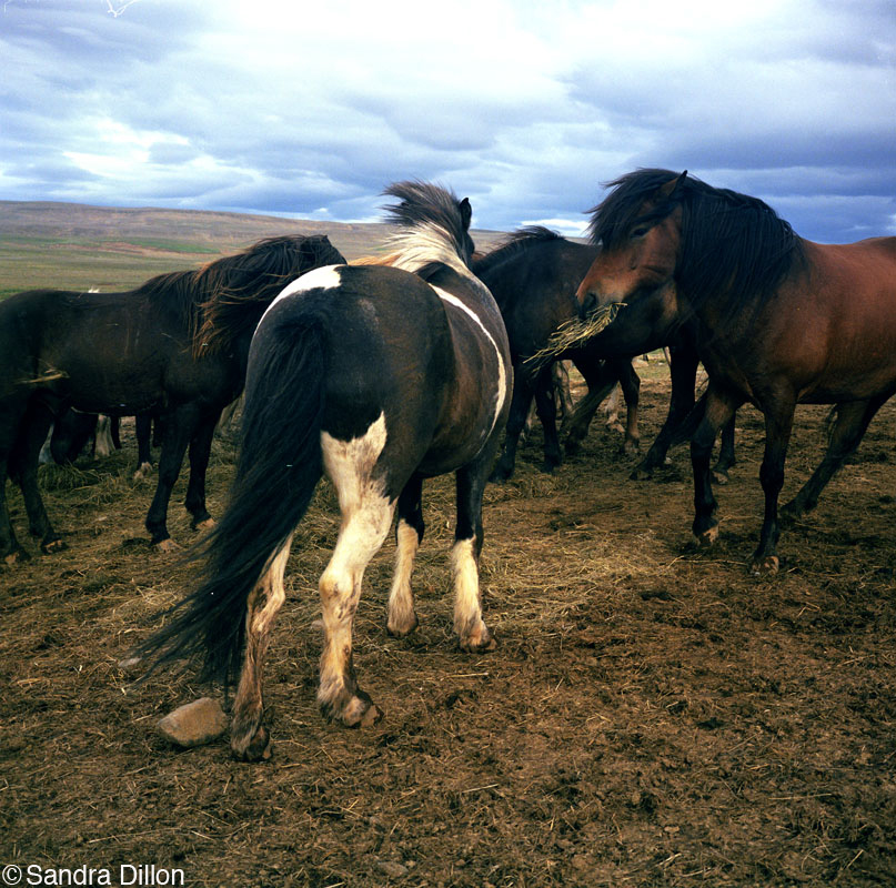 Horses Eating, In the Middle of Nowhere, Iceland