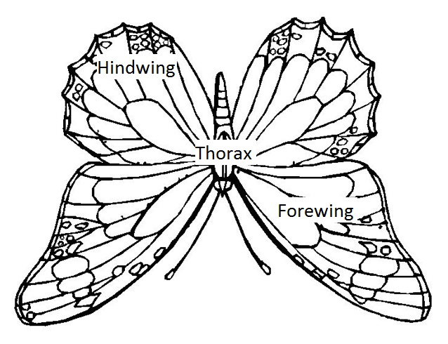 "Upside down butterfly. Showing ""doctrine of signatures"" to the daphragm, paracardium, lungs. Image altured by the author."