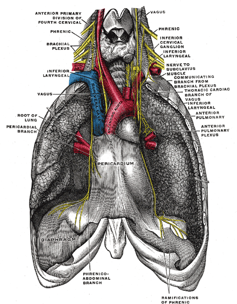 "Pericardium ""glued down"" to the diaphragm. Image from Gray's Anatomy, public domain."