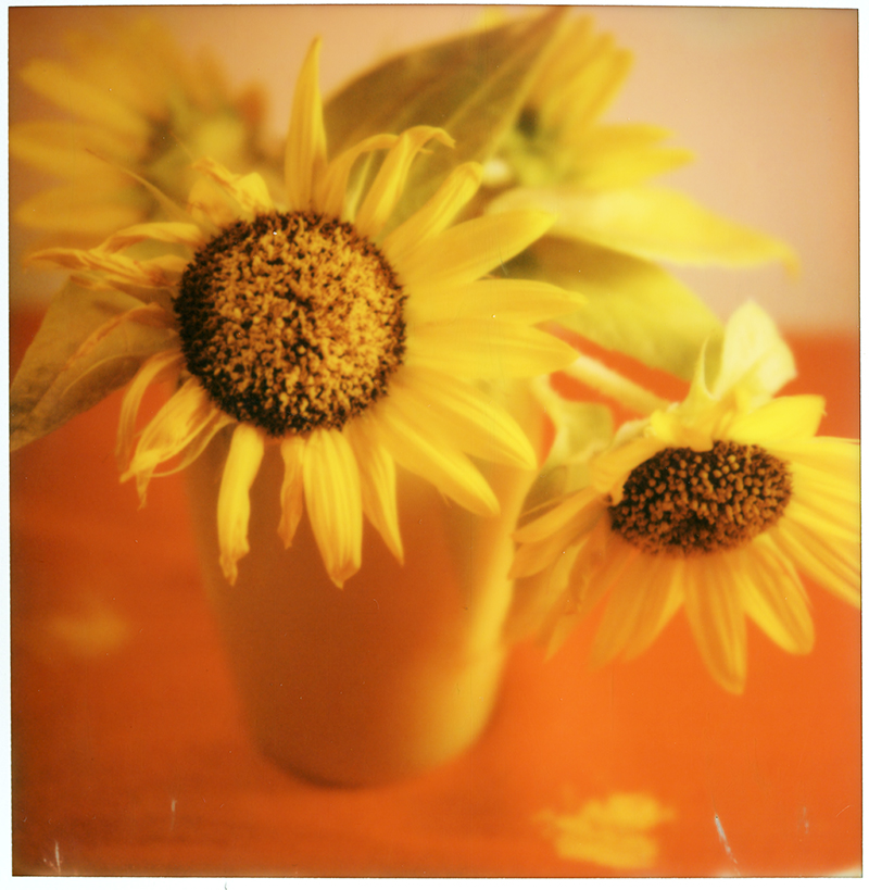 SUNFLOWERS AT THE STUDIO, HUDSON NY