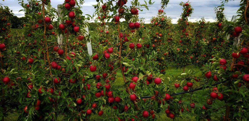 Apple Season | corner of Morrell Rd& Lummisville Rd, Wolcott, NY