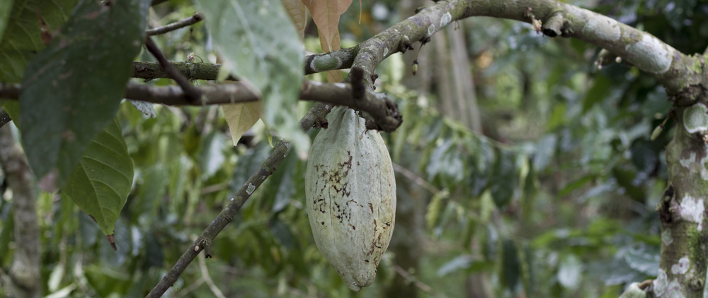 I basically live, breath and eat chocolate in my life, so seeing a cocoa pod in the flesh was pretty exciting for me.