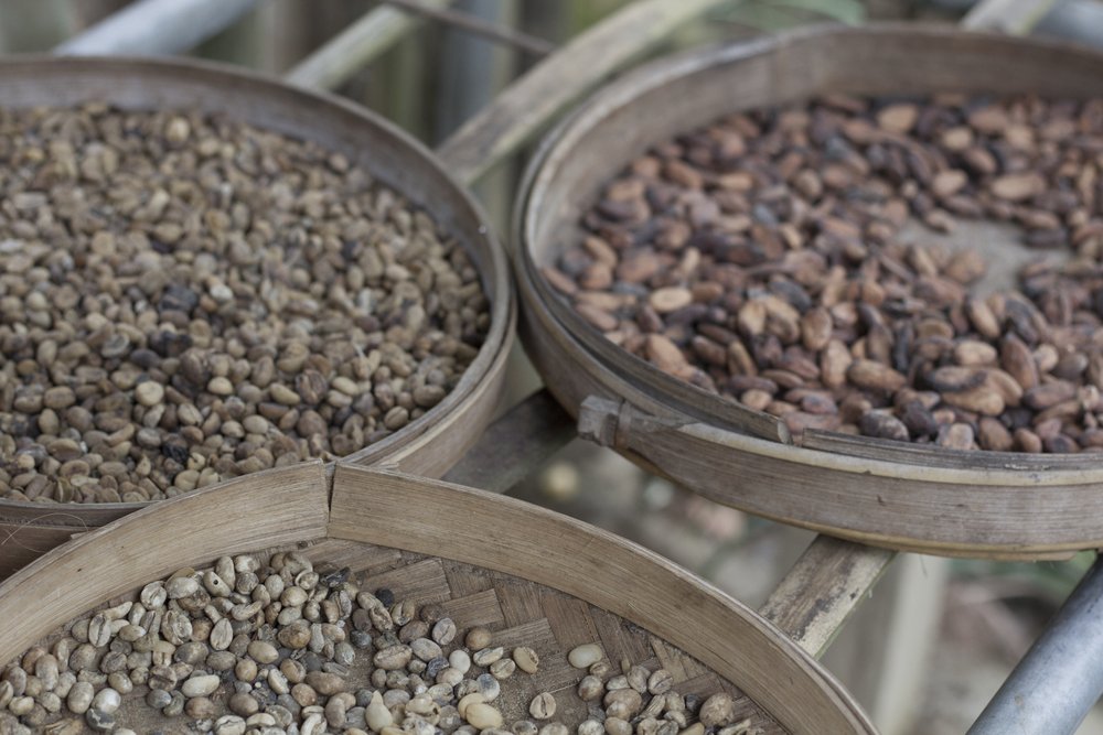 Here are the cocoa nibs and the coffee beans at various stages of the process before roasting.