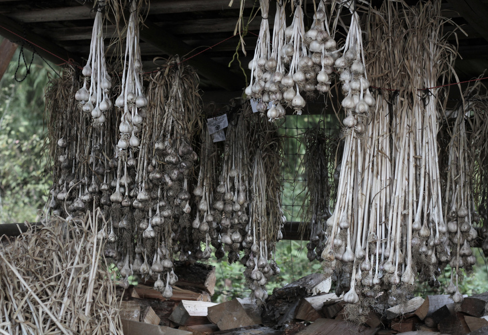 Garlic Drying