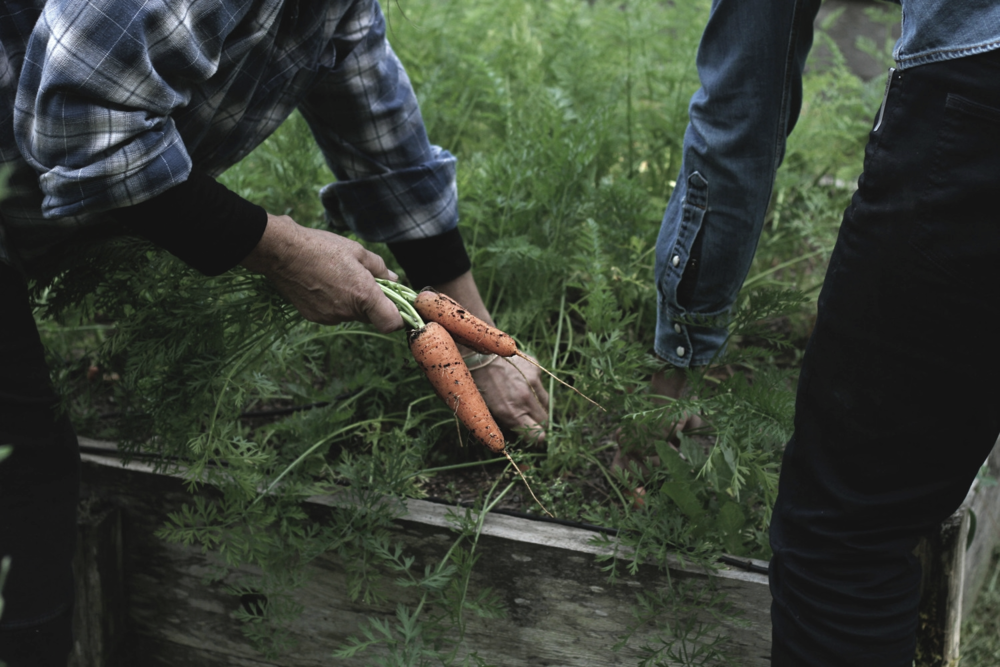 Carrot Picking
