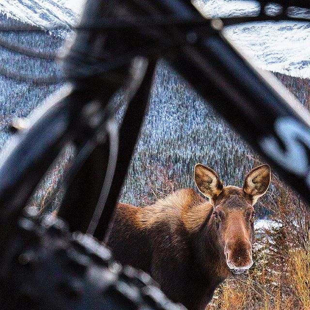 Big moose + fat bike 🚲❄️💨 #kananaskis #mooselickingsaltontruck #fatbike