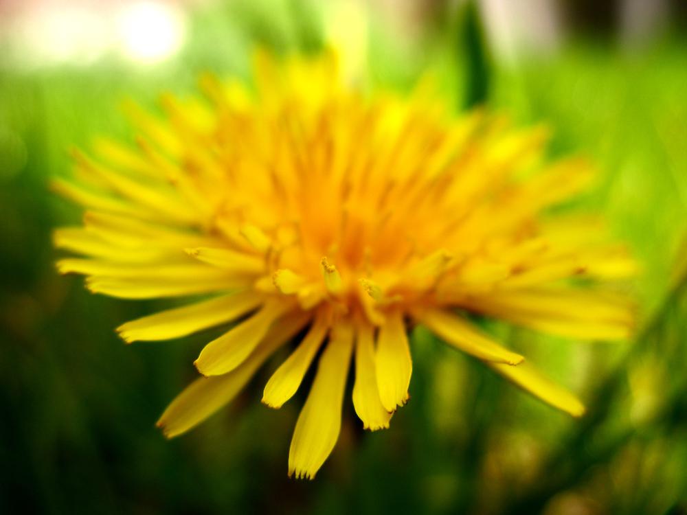 sweet-dandelion.jpg