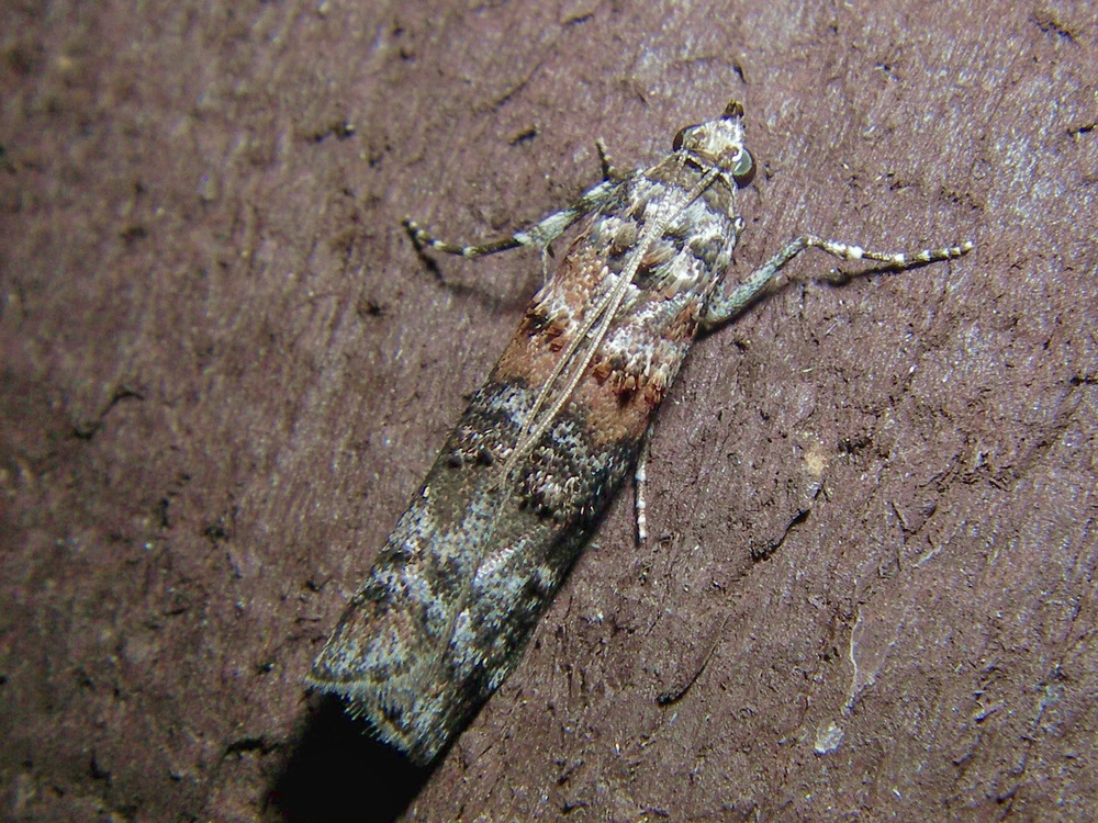 5852_p_dioryctria_zimmermani_zimmerman_pine_moth_warwick_ma_09_1b.jpg