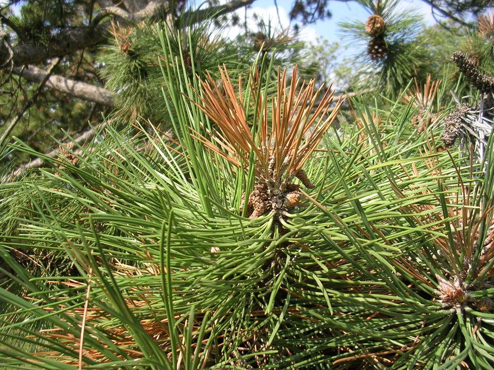 brown pine needles.jpg