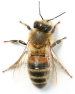isolated-bee.jpg