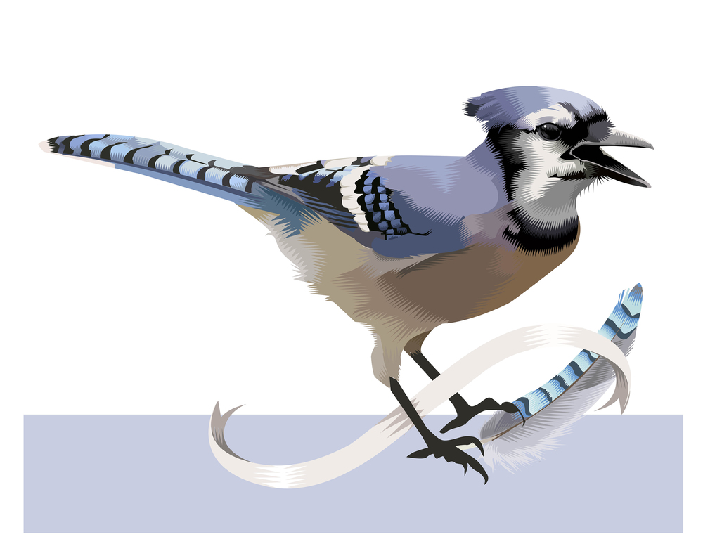 From: A Collection of Birds: Advent 2015 The Harsh Bluejay Q. Cassetti, 2015 Adobe Illustrator