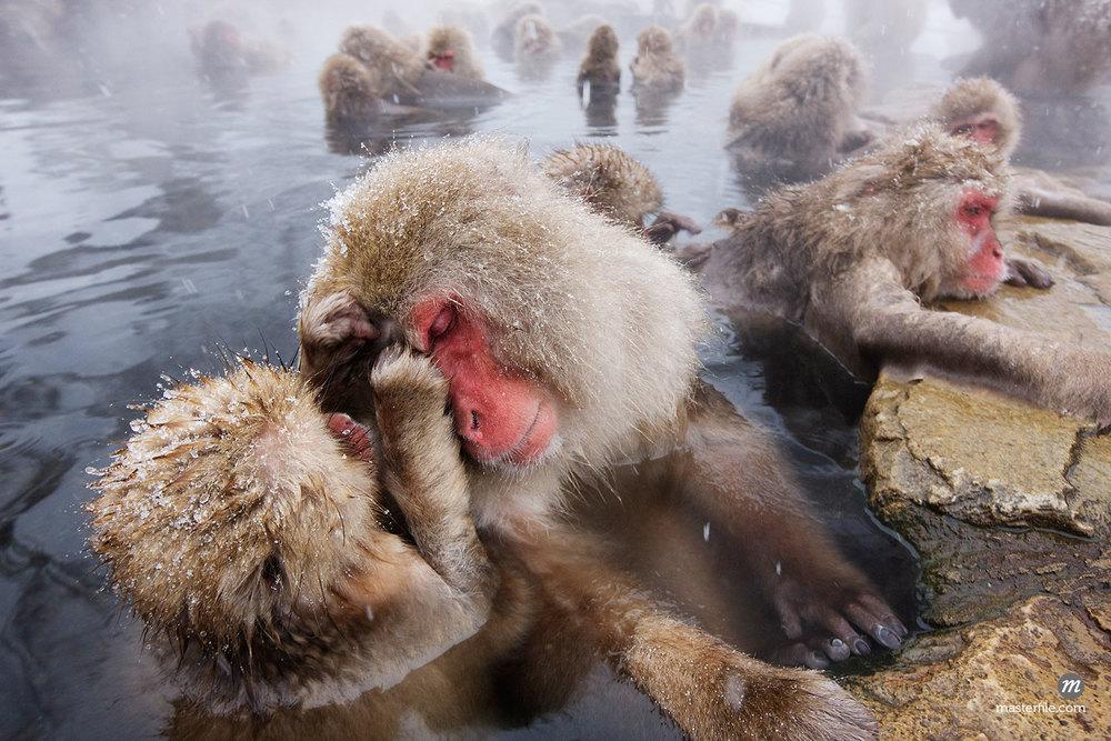 Japanese Macaques Grooming in Jigokudani Onsen, Nagano, Japan ©Jeremy Woodhouse / Masterfile