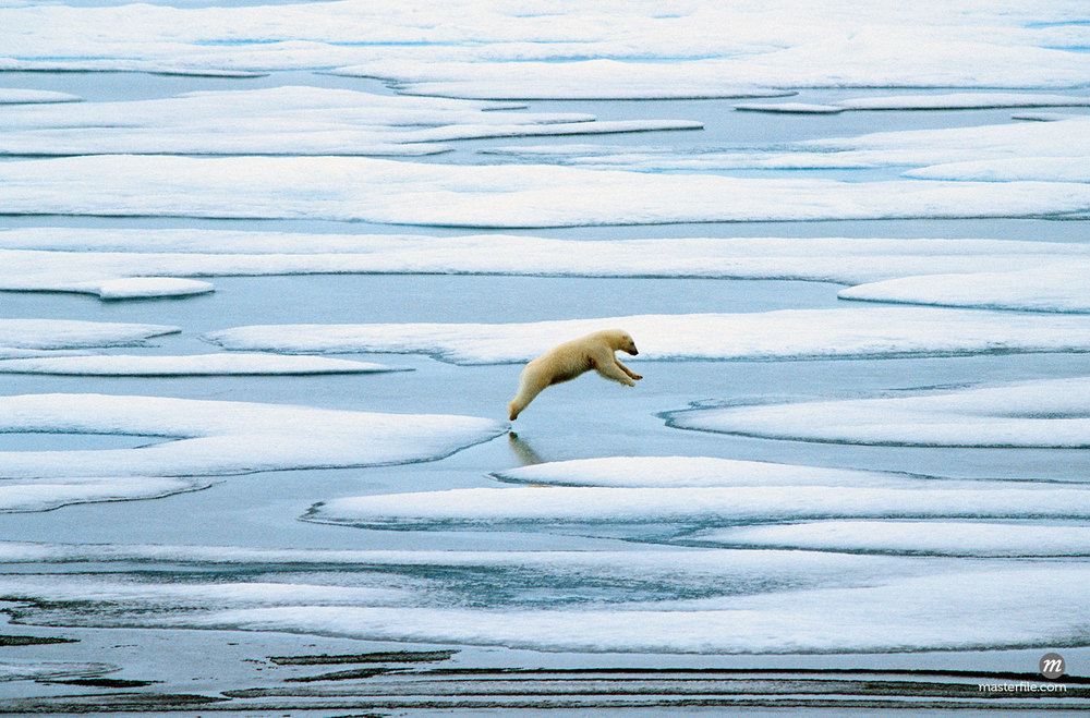 Polar Bear Jumping Over Pool on Sea Ice in Lancaster Sound, Nunavut, Canada  ©  John Foster / Masterfile