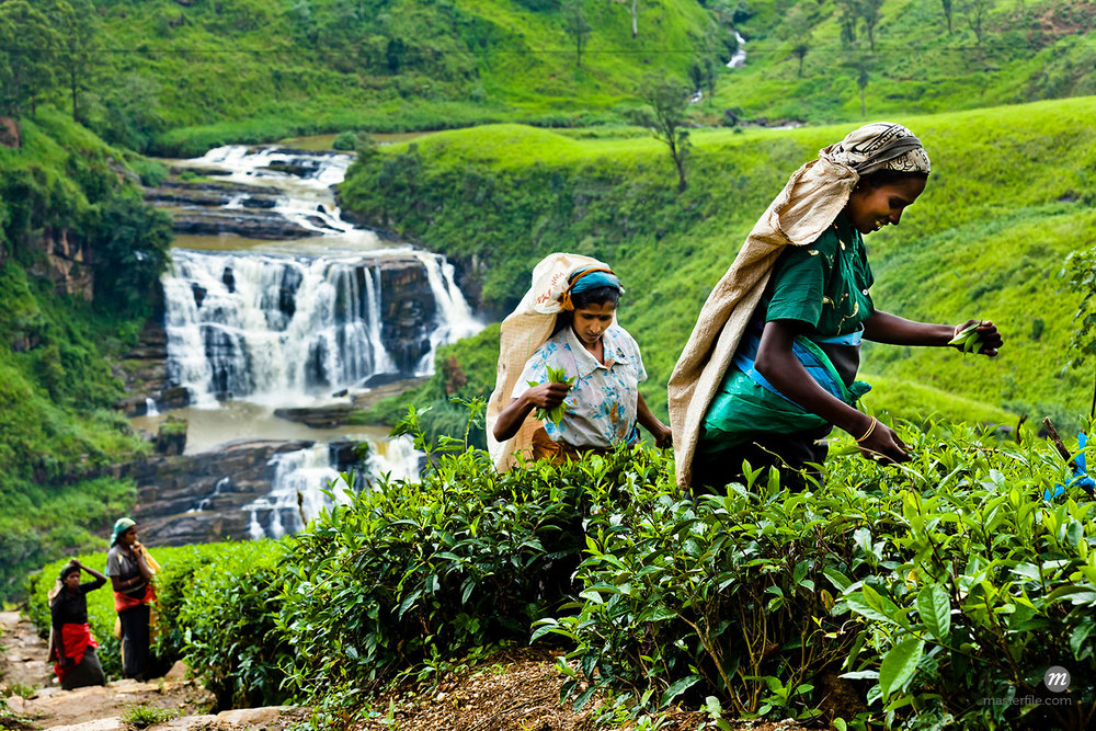 Tea Pickers at Tea Plantation by St. Clair's Falls, Nuwara Eliya District, Sri Lanka  ©  R. Ian Lloyd / Masterfile
