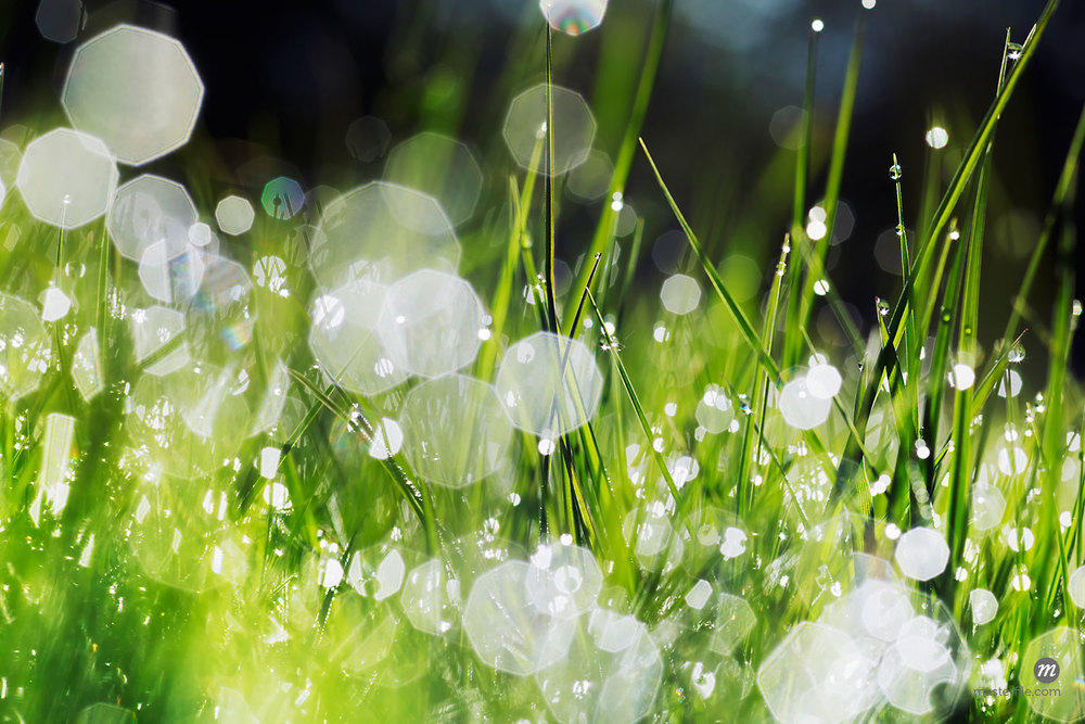 Close-up of grass with dew sparkling at sunrise, Kochelsee, Upper Bavaria, Bavaria, Germany  © Frank Krahmer / Masterfile