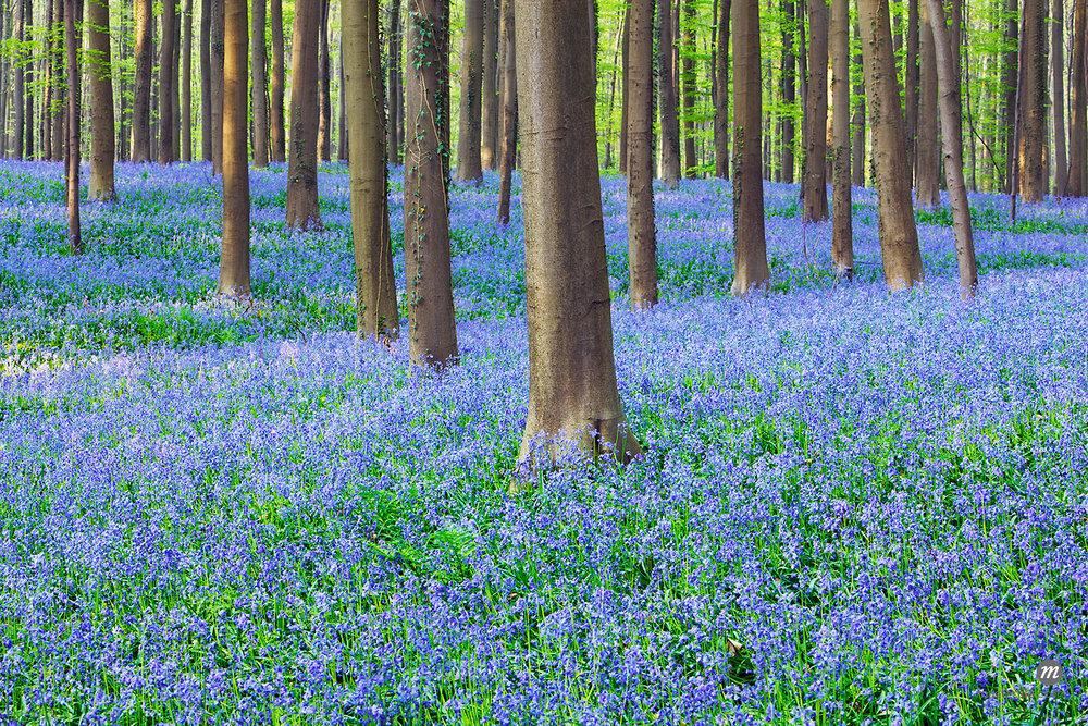 Bluebells in Beech Forest, Hallerbos, Halle, Belgium  © Frank Krahmer / Masterfile