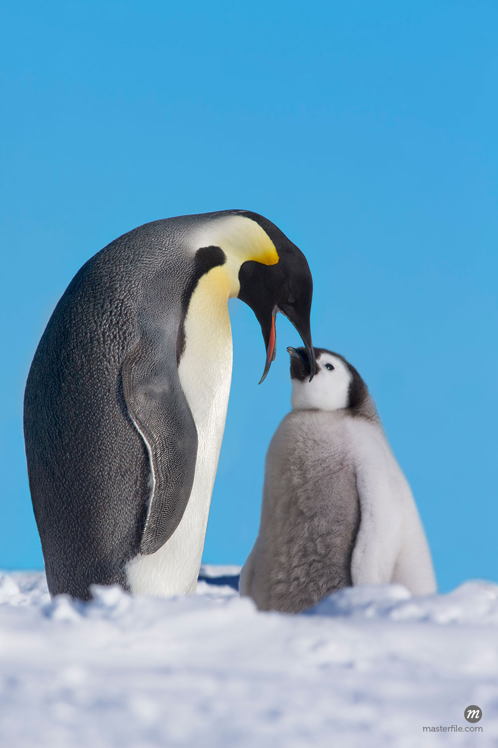 Emperor Penguin with Chick, Riiser-Larsen, Weddell Sea, Antarctica  © Frank Krahmer / Masterfile