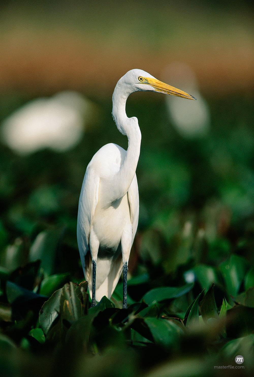 Great Egret, Llanos Orinoco, Venezuela  © Frank Krahmer / Masterfile
