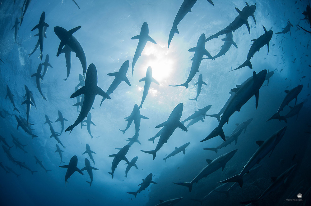 Underwater silhouetted view of silky sharks gathering in spring for mating rituals, Roca Partida, Revillagigedo, Mexico © Masterfile