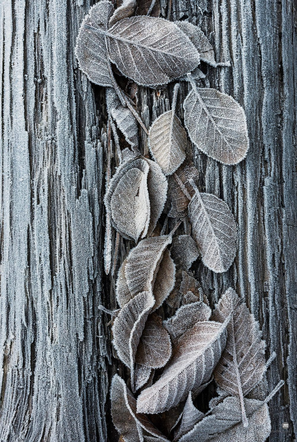 Close-up of frosted leaves on a tree trunk in winter, Wareham Forest, Dorset, England © JW / Masterfile