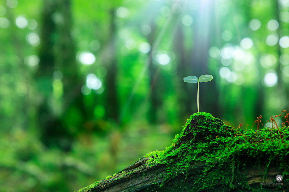 Seedling sprouting from a fallen tree in forest  © Masterfile