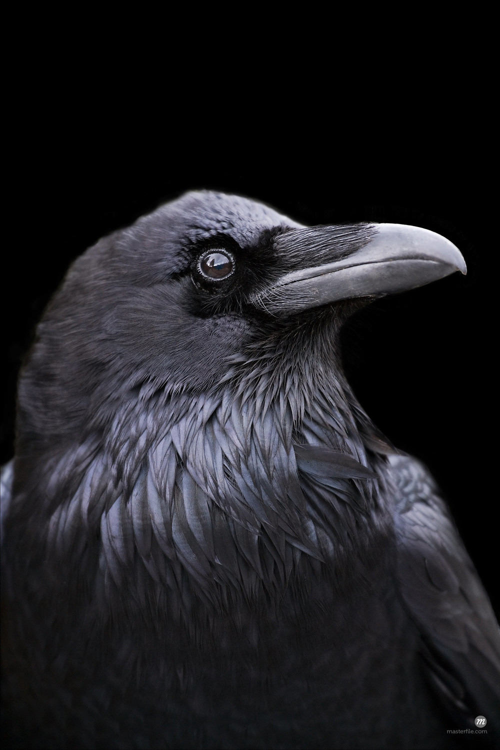 Profile of a Raven with a black background, California  © Masterfile