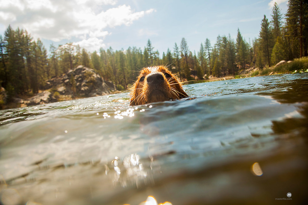 Surface level front view of dog swimming at camera, High Sierra National Park, California, USA © Masterfile