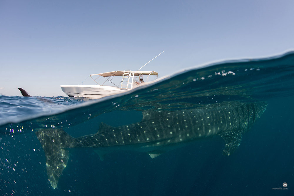 Underwater view of whale shark feeding near surface of ocean in Isla Mujeres, Mexico  © Masterfile
