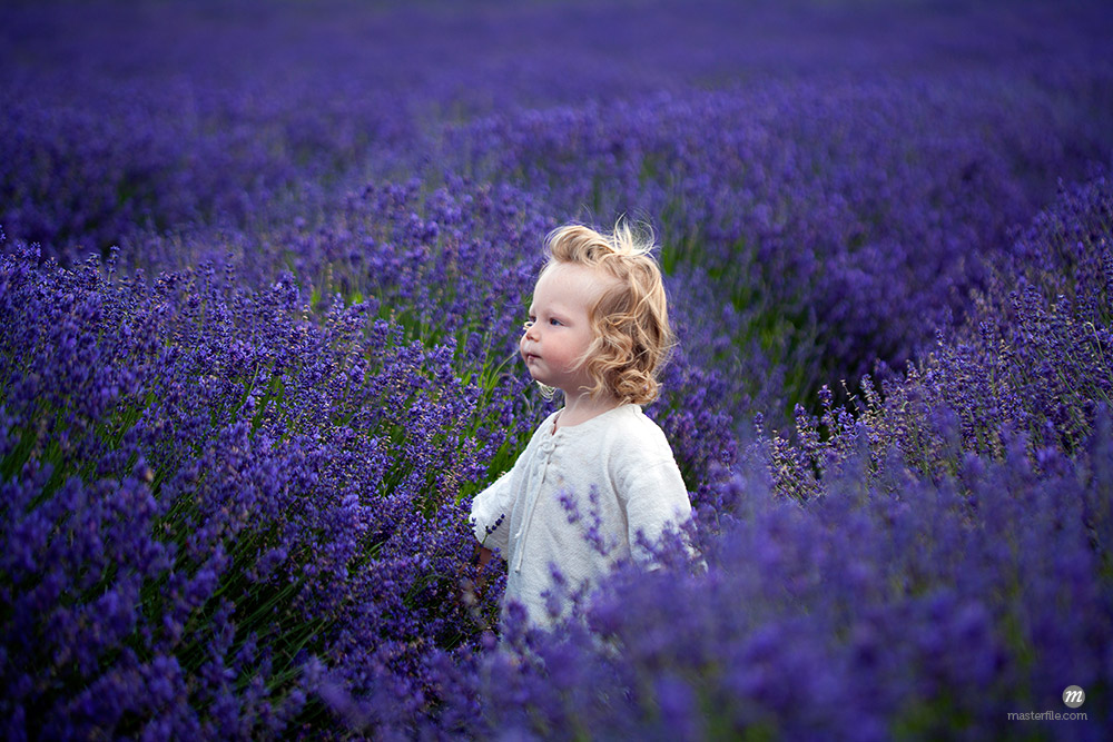 Boy walking in field of lavender © Masterfile