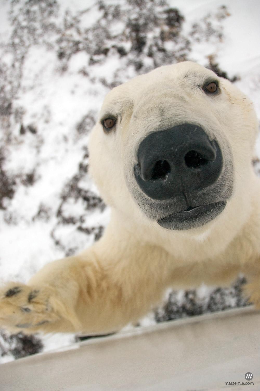 Close up of a Polar Bear's face looking up.Churchill, Manitoba, Canada © AlaskaStock /Masterfile