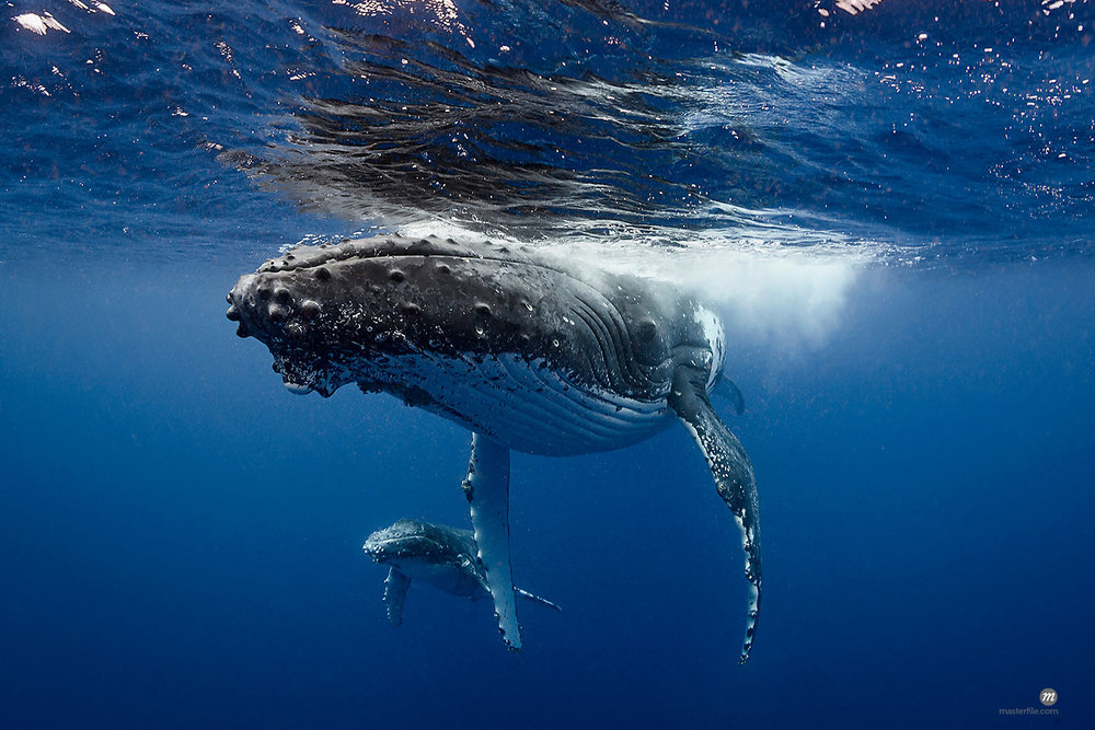 Humpback whale and calf in the waters off Tonga  © Masterfile
