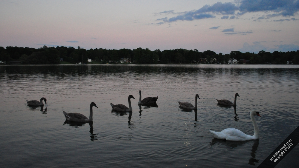 Lake Beseck Swans