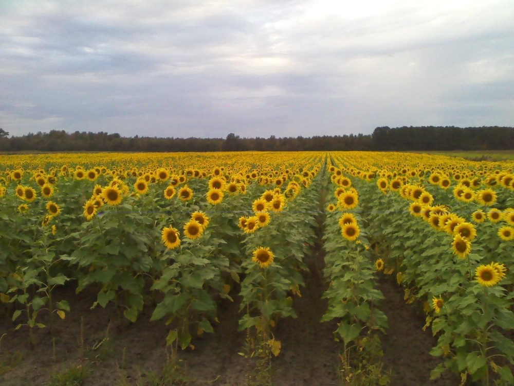 Certified organic Looking Back Farms: 10 acres of sunflowers to be combined and sold for oil These sunflower are in rotation with oats and clover.